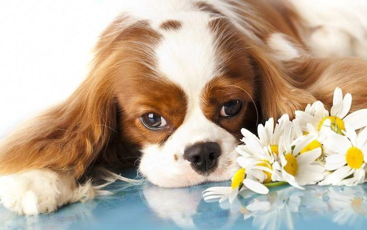 Cute Puppies King Charles Cute Animals In 2020 Cavalier King Charles King Charles Cavalier Spaniel Puppy King Charles Spaniel