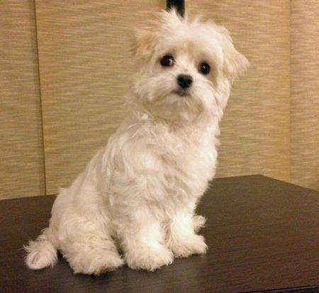 Mattie the Maltese-Beautiful puppy!