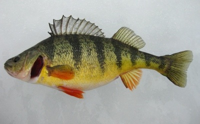 Port Dover Perch Derby opens April 21, runs to May 5. 40 tagged perch worth over $23,000 plus daily prizes and a grand prize draw for boat motor trailer. http://www.norfolktourism.ca