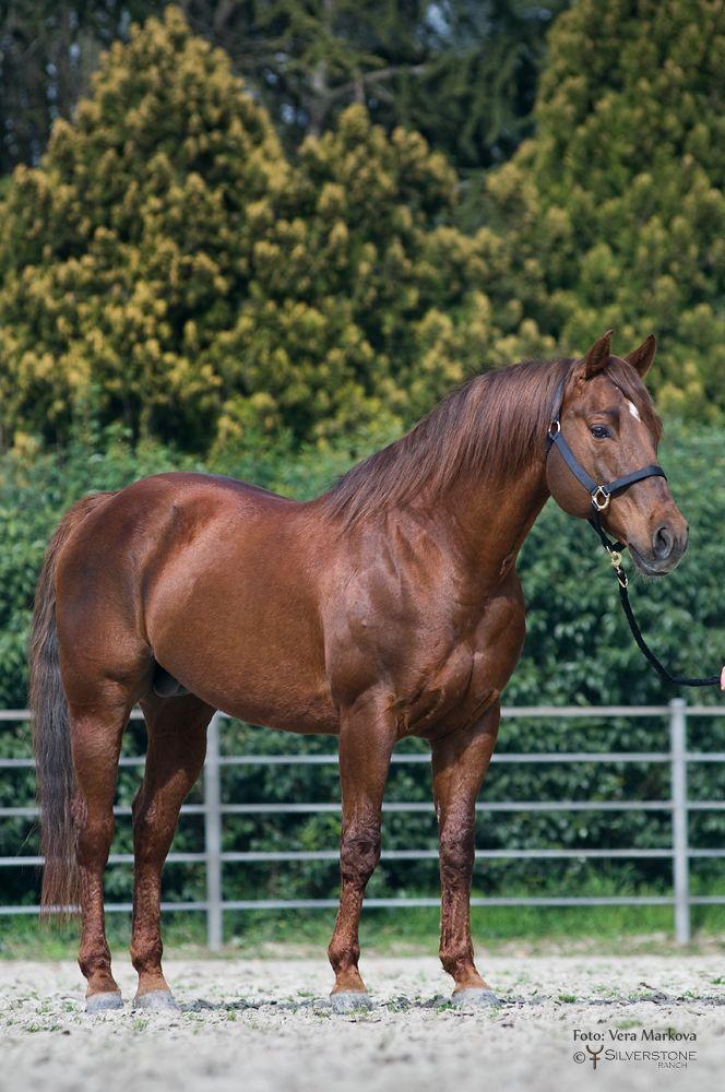Quarter Horse stallion, Acres Of Time.