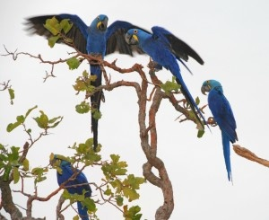 The Hyacinth Macaw is the longest parrot in the world by length! www.journeys.travel