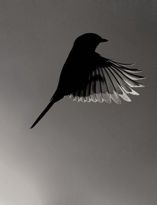 Bird  -  Monochrome  -  Photography
