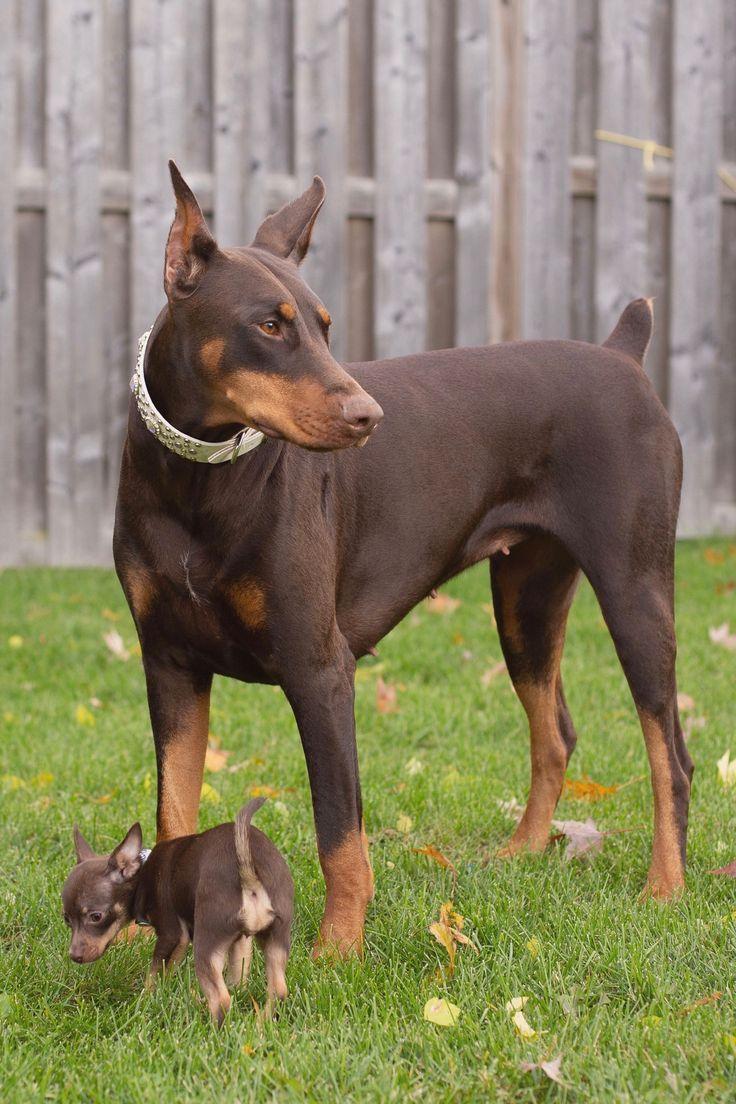 This Big Girl Just Got A New Sister Her Job Will Always Be To Protect Her Bigdog Doberma Waterproof Dog Collar Luxury Dog Collars Dog Activities