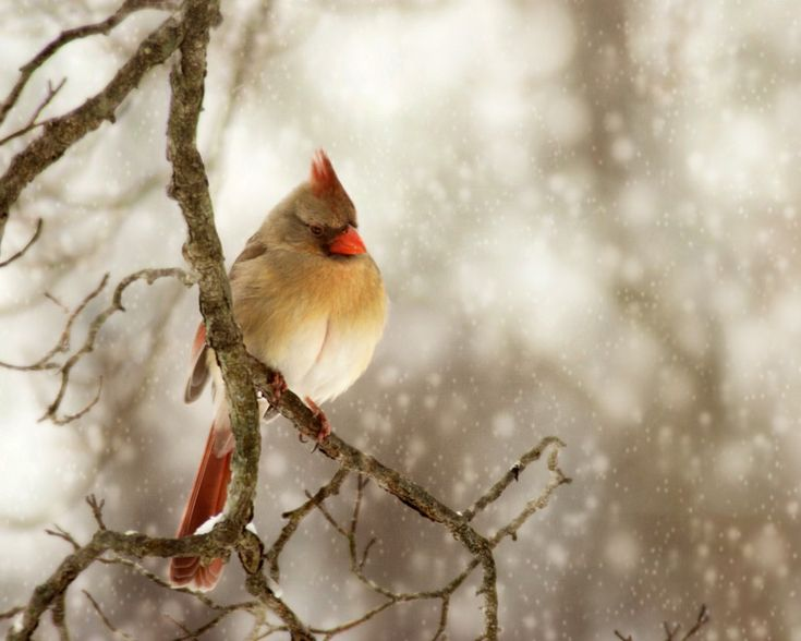 Cardinal in winter, one of my favorite snow scenes!!! Bebe'!!! What is more seasonally festive than cardinal on a snowy branch!!!