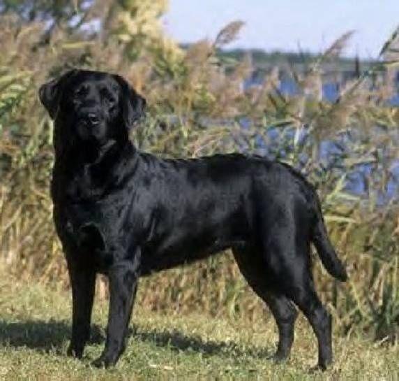 Labrador Retrievers - They're Canadian - The Chron-nicoles