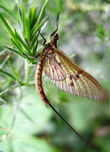 Mayfly..'an errant May-fly swerved unsteadily'