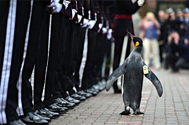 22日、英スコットランドのエディンバラ動物園で、訪英したノルウェー王室親衛隊を閲兵するキングペンギン「ニルス・オラフ」。既にナイト(騎士)の称号を保持するオラフは、このほど准将に昇格した=英国防省提供【AFP=時事】