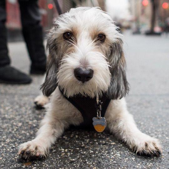 Hannibal petit basset griffon vend en 8 m o 9th university pl new york ny cute - Petit basset hound angers ...
