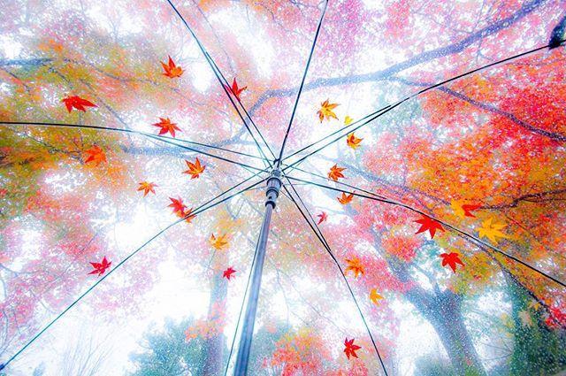 傘紅葉 . 京都 嵯峨野 広沢の池 . Sagano.Kyoto . 2016.11.27撮影 . 昨日の雨の中、撮影に夢中になってたら、傘の上がこんなになってました。 コンビニで買ったビニール傘も捨てたもんじゃないですね。 . . #japan #kyoto #京都 #嵯峨野 #広沢の池 #紅葉 #雨降り #雨 #傘紅葉 #傘 #落ち葉 #ぶらり京都撮影部