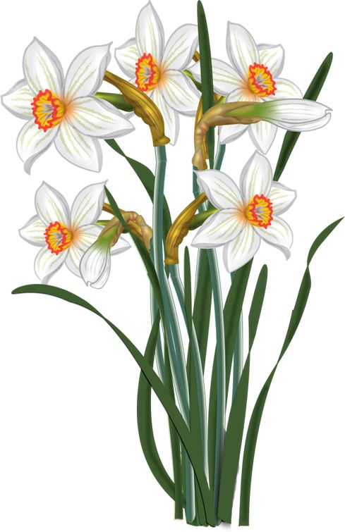 flowers - vector Narcissus