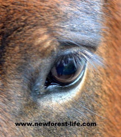 New Forest pony - a beautiful expression