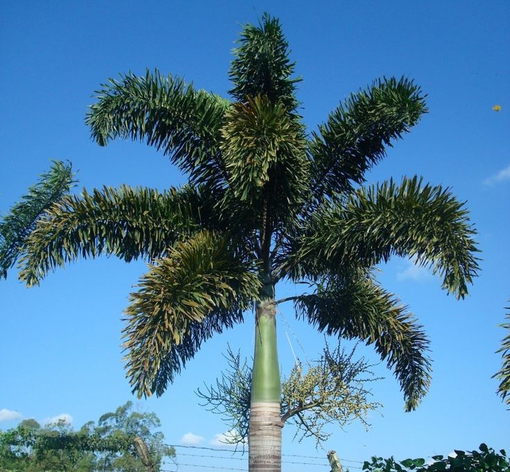 foxtail palm - wodyetia bifurcata