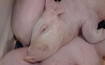 Taxpayers Unwittingly Funding Horrific Farm Animal Experiments