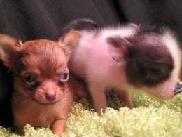 baby teacup pig and chihuahua