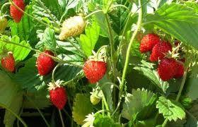 Ковровый способ выращивания садовой земляники