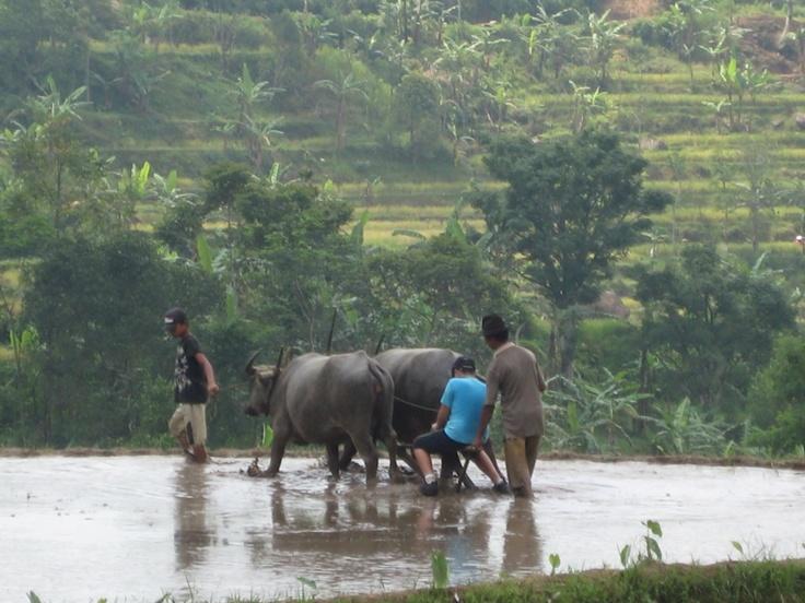 Water buffalo - rice field in Bogor