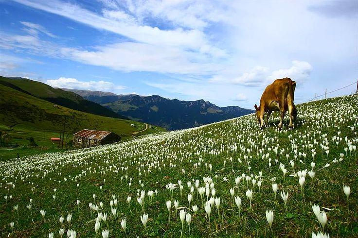"""Kiraz Yaylası, Maçka/Trabzon 1850 m rakımlı bu yaylada çim kayağı yapma imkanınız bulunuyor. Temmuz ayının üçüncü cuma gününde """"Ayeser Şenlikleri"""" yapılmaktadır. Konaklama bakımından sıkıntısız bir yer olmasına önem veriyorsanız tercih edebileceğiniz bir yayladır."""