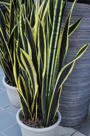 Snake Plant ~ Sansevieria Trifasciata  Bright to full sun. Description from pinterest.com. I searched for this on bing.com/images