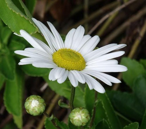 Montauk daisies careless gardener the top five plants for for Low maintenance summer flowers