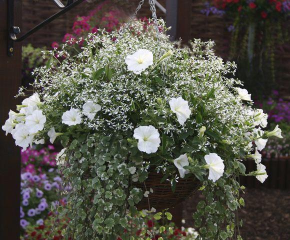 7 best Zauberschnee images on Pinterest   Blumen, Petunien und Weiss