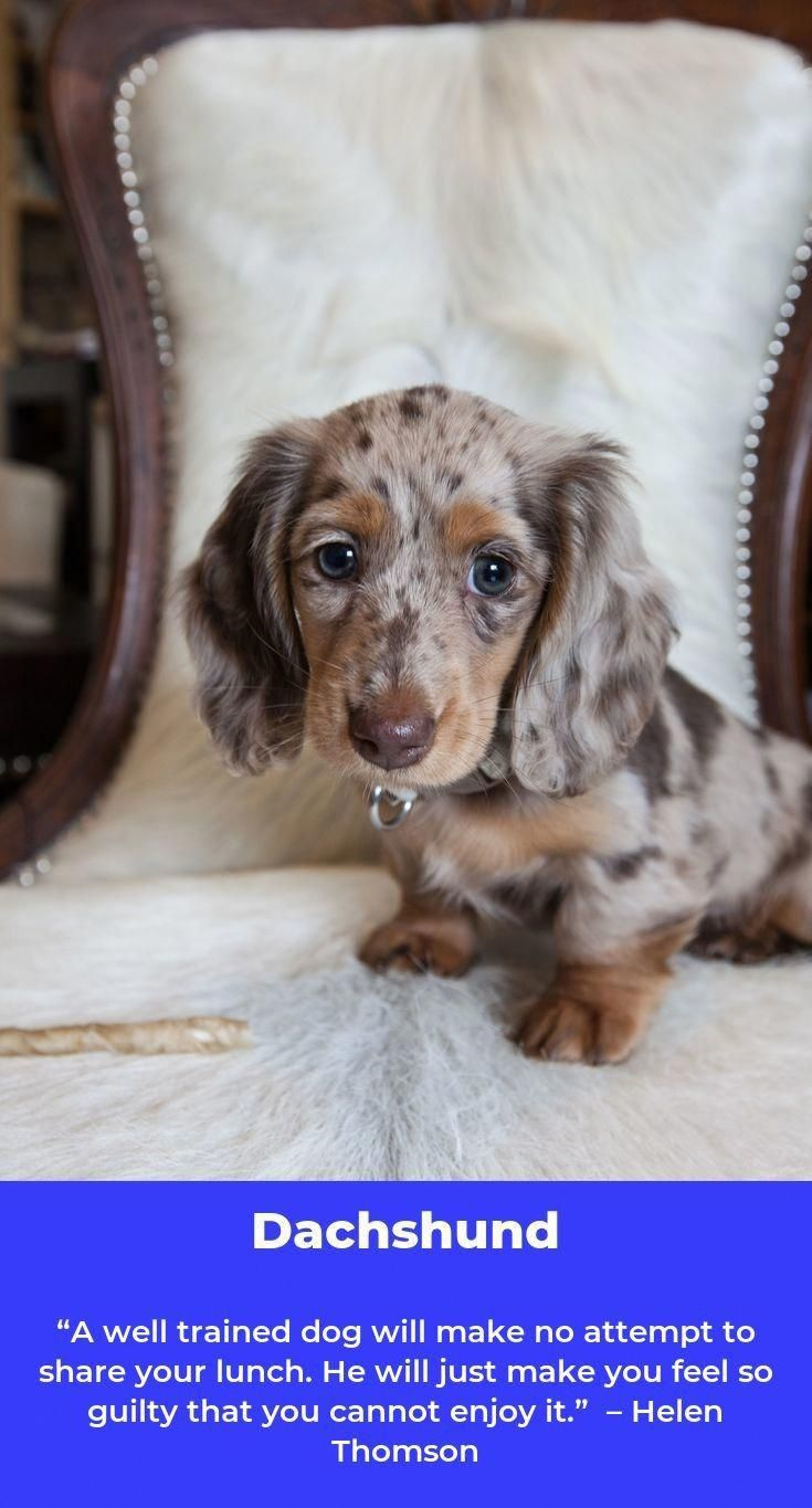 Long Haired Dachshund Daschund Dachshund Long Haired