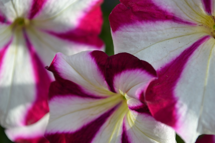 A varigated petunia, close-up. (photo by Jon)