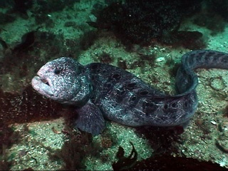 wolf eel - Google Search