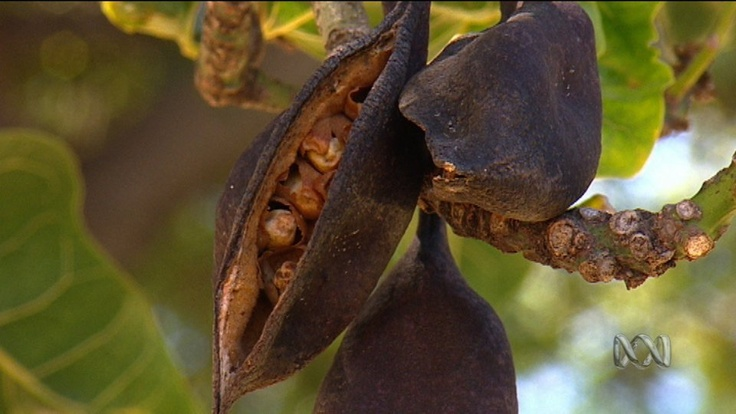 Understanding Bush Foods - ABC Splash Video Clip - Do you know of any Australian bush foods? Have you tasted any? Can you think of some methods that Aboriginal people and Torres Strait Islander people may use to obtain and prepare traditional bush food?