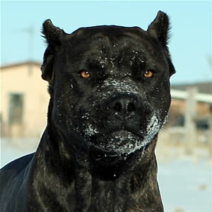 Cane Corso-I'd name him Goliath Or if Gray(Blue) Bronx after my favorite Gargoyles! Handsome,Beautiful Beasts!