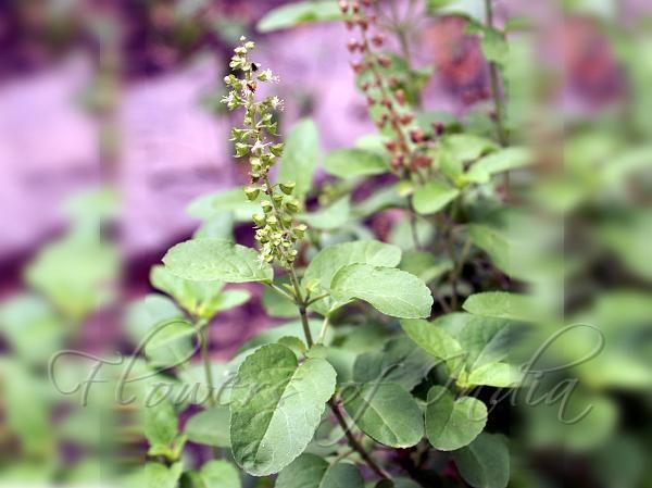 Ocimum tenuiflorum - Tulsi