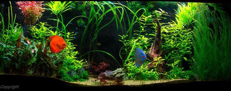 https://flic.kr/p/qCkGuJ   450 Liter Juwel Aquarium   Einrichtung eines Amazonas Beckens. Das Aquarium wird mit Bodenheizung und CO2 Anlage von Dennerle betrieben. Auch die Düngung erfolgt mit Dennerle Produkten.