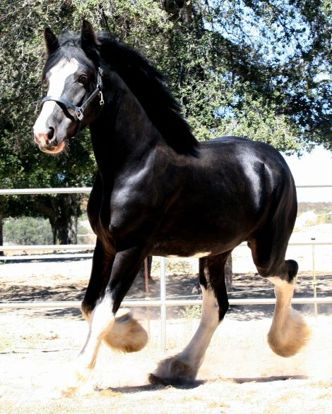 Somewhere Farm Clydesdales - Registered Clydesdale Stallions