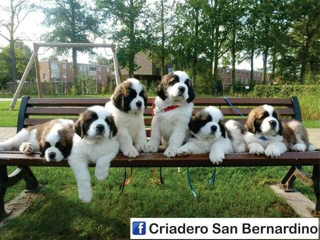 1596 best Beautiful Saint Bernard I want one images on Pinterest ...