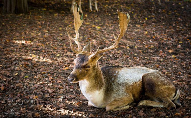Deer - Cervo Daino, scattata a Pedavena (BL),  genere Dama di famiglia Cervidae.  Follow me also on: Fb:facebook.com/enea.mds Twitter twitter.com/EneaHany Instagram: eneah.px Google+:plus.google.com/u/0/+EneaMedas Flickr : flickr.com/photos/eneahanyphotos/