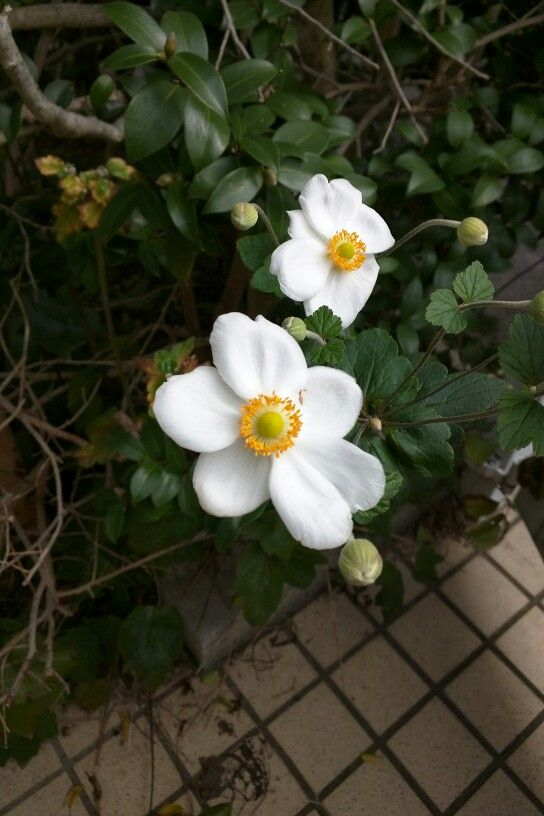 Chinese anemone (Anemone hupehensis). Autumn has come. シュウメイギク(キブネギク)。秋本番。