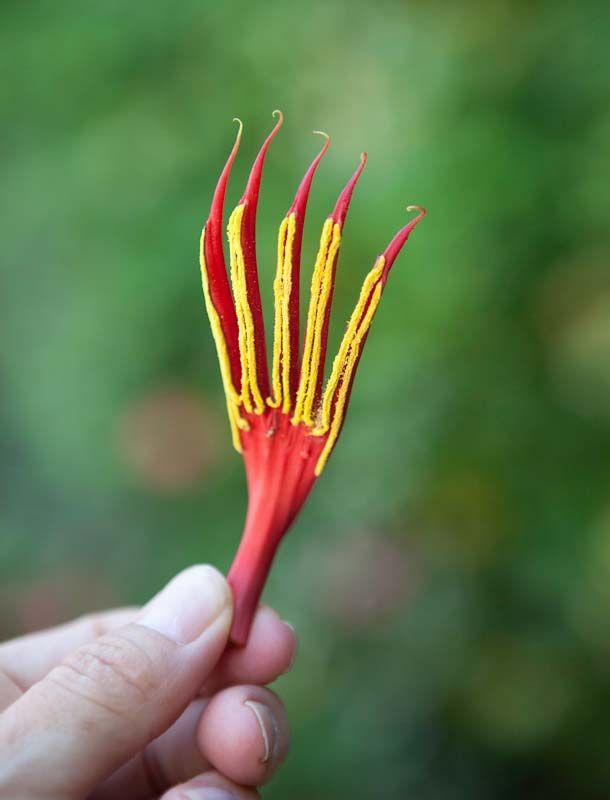 Monkey Hand Tree-flower part, by Tara Gill