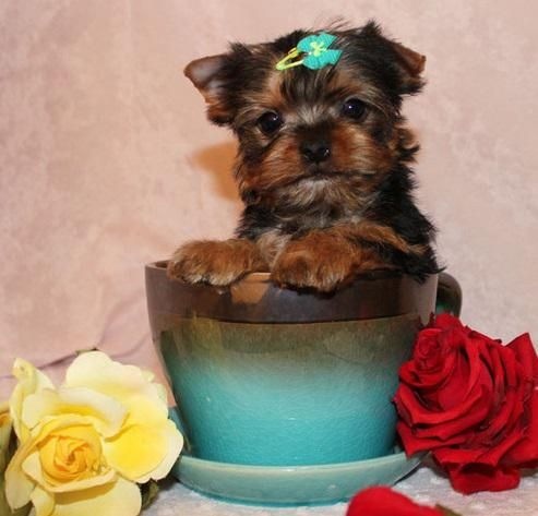 Proudly offering some of the finest quality Yorkshire terrier puppies in the world. Simply stunning Yorkie puppies. Visit and fall in love. Puppies ready. These are the most devoted, loving, loyal sweethearts you can find. They live to love you. Sizes to suit every family situation. Extreme Doll face MICRO -Teacup -Toy Yorkshire Terriers Micro Teacup Babies Text message strongly preferred, given priority.contact us for details.contact (330) 269-5198 Please contact