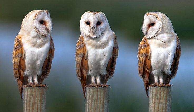 magicalnaturetour: Barn Owl Photo by Nigel Pye