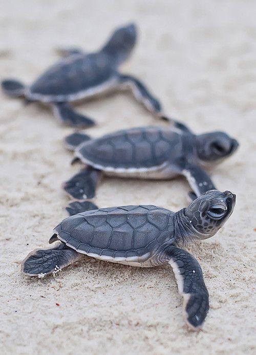 Baby sea turtles heading to sea.  Good luck little guys! ==