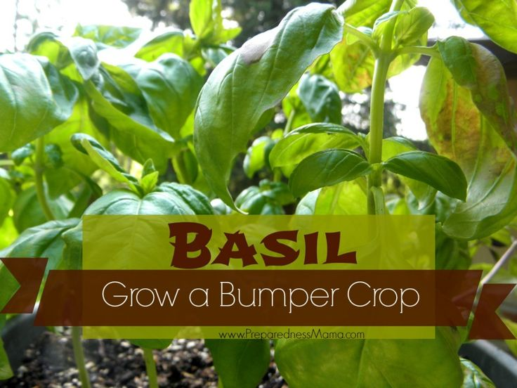 Grow a Bumper Crop of Basil in Containers