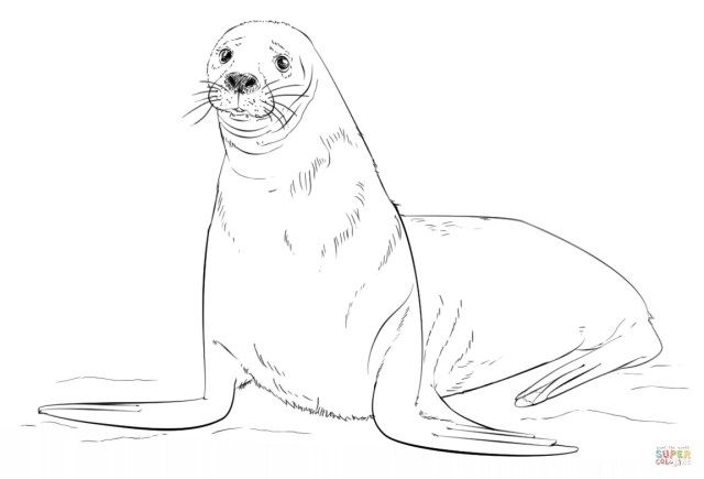 Exclusive Picture Of Seal Coloring Pages Drawings Step By Step