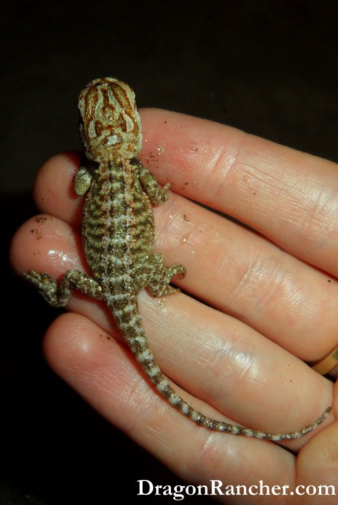 Available Rainbow Tiger Baby Bearded Dragons for Sale