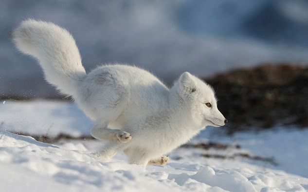 ARCTIC FOX....also called white fox or snow fox.....found on tundra in Alaska, northern Canada, Greenland, northern Europe and northern Asia....a body length of 21 - 22 inches), a tail length of 12 inches and a weight of 8.75 lbs.....about the size of a large house cat, making it the smallest wild canid found in Canada...has the warmest pelt of any animal found in the Arctic....can endure temperatures as low as -50ºC before their metabolisms increase to provide extra warmth