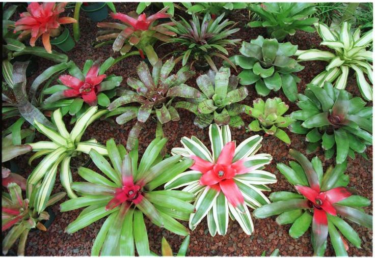 Bromeliads, including the colorful Neoregelia, absorb extra water and hold it until needed. Rain water is best.