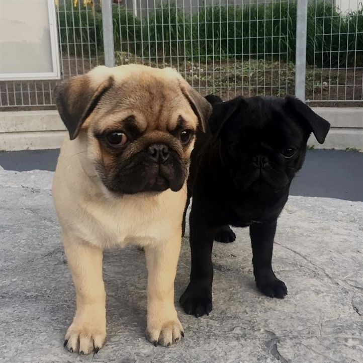 Tag Your Best Friend Follow Thepugsplanet For More Fun Pugs Vids