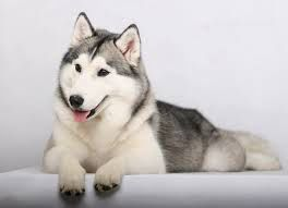 Image from http://nextranks.com/data_images/dogs/siberian-husky/siberian-husky-01.jpg.