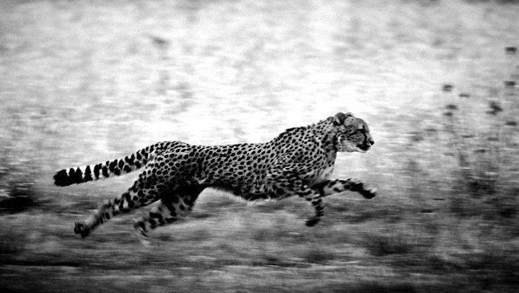 Best 25+ Cheetah Wallpaper Ideas On Pinterest