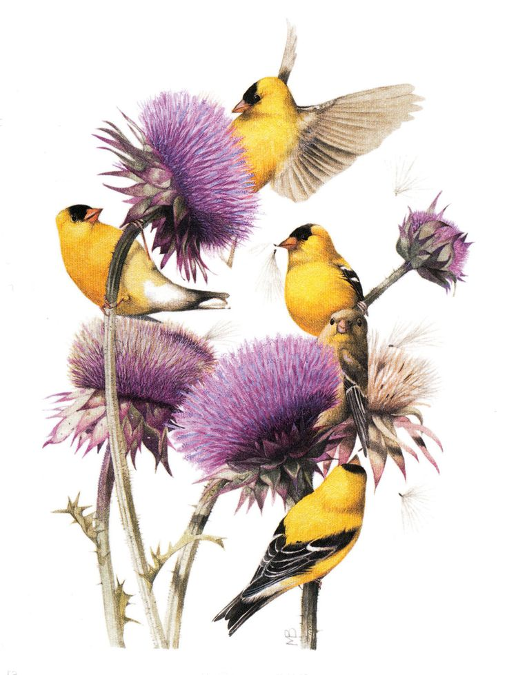 Коллекция картинок: Иллюстрации Bastin Marjolein 7 (птички часть 3) these look just like the yellow finches that enjoy our coneflowers!