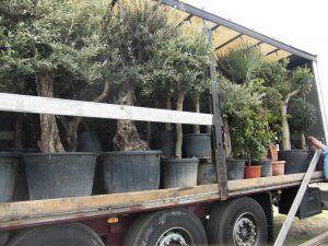 Kaufen oder mieten Sie winterharte Palmen, Olivenbäume sowie Citruspflanzen und Weinreben beim Palmenhof. Ihr Partner für eine mediterranen Gartengestaltung