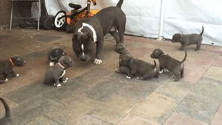 American Bully with his pups : aww